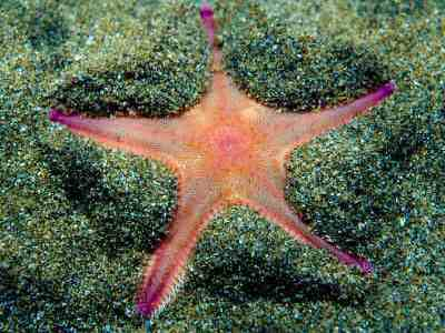 Burrowing starfish