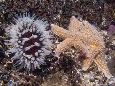 Dahlia anemone & common starfish