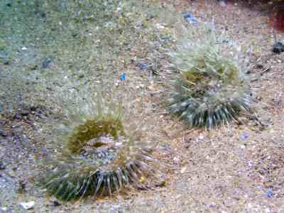 Burrowing anemones